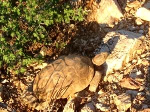 AZ Desert tortoise