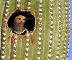 A Flicker takes refuge in a Saguaro