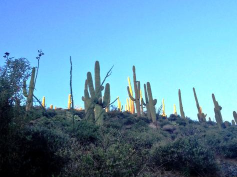 Desert Mountain's Saguaro Forest