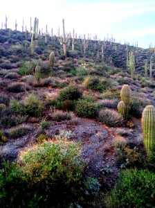 Saguaro Forest Hike